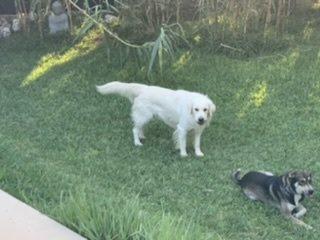 Luis Javier: Lost, Dog - Golden retriever y cruce, Male