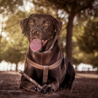 Rocky: external-case, dog - Labrador Retriever, Male