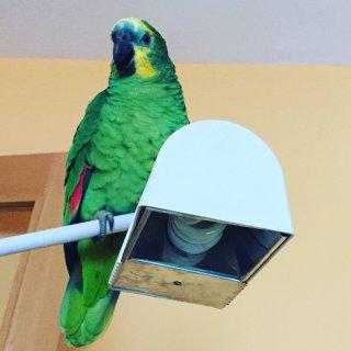 Lola: lost, bird - amazonas aestiva, Female
