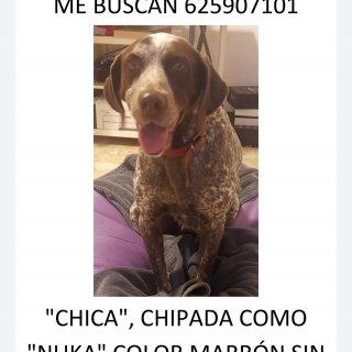 Chica: Lost, Dog - Perdiguero de burgos, Female